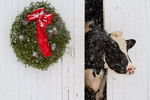 Holstein cow looking out from barn door in snowstorm. Green wreath and red ribbon. St. Charles, Illinois, USA - Lynn M Stone