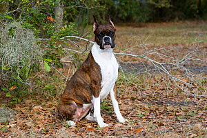 Brindle Boxer dog with cropped ears, sitting in oak leaves, USA  -  Lynn M Stone