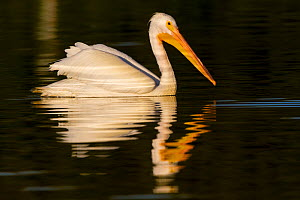 American White Pelican (Pelecanus erythrorhynchos) in winter plumage on water. Manatee County, Florida, USA, January. - Lynn M Stone