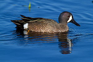 Blue-Winged Teal (Anas discors) drake, on water. Lakeland, Florida, USA, January.  -  Lynn M Stone