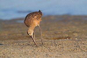 Long-billed Curlew (Numenius americanus) probing sand, foraging for Fiddler Crabs. Pinellas County, Florida Gulf Coast, USA, March.  -  Lynn M Stone