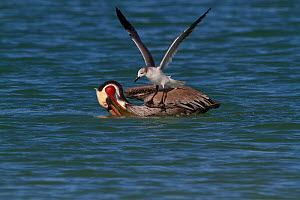 Eastern Brown Pelican (Pelecanus occidentalis carolinensis) after surfacing from a dive, with Laughing Gull (Larus atricilla) opportunistically mobbing it for fish. Pinellas County, Florida, USA, Janu...  -  Lynn M Stone