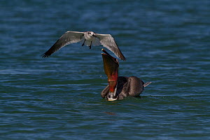 Eastern Brown Pelican (Pelecanus occidentalis carolinensis) after surfacing from a dive, with Laughing Gull (Larus atricilla) opportunistically mobbing it for dropped fish. Pinellas County, Florida, U...  -  Lynn M Stone