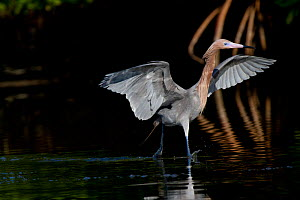 Reddish Egret (Egretta rufescens) in breeding plumage, using characteristic open wings and bounding foraging gait at the edge of red mangrove. Pinellas County, Florida, USA, March. - Lynn M Stone