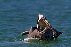 Eastern Brown Pelican (Pelecanus occidentalis carolinensis) draining gular pouch after surfacing from a dive, with Laughing Gull (Larus atricilla) opportunistically mobbing it for dropped fish. Pinell...  -  Lynn M Stone