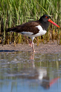 American Oystercatcher (Haematopus palliatus) on tidal mud in salt marsh. Pinellas County, Florida, USA, March.  -  Lynn M Stone