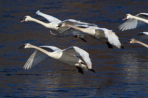 Trumpeter Swans (Cygnus buccinator) in flight above the Mississippi Rive, Minnesota, USA, February. - Lynn M Stone