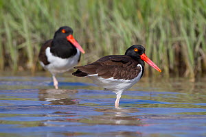 American Oystercatchers (Haematopus palliatus) on tidal mud in salt marsh. Pinellas County, Florida, USA, March.  -  Lynn M Stone