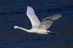Trumpeter Swan (Cygnus buccinator) in flight over the Mississippi River. Minnesota, USA, February. - Lynn M Stone