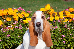 Portrait of red and white Basset Hound dog against flowers. USA - Lynn M Stone