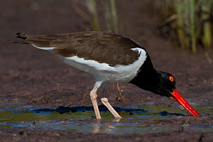 American Oystercatcher (Haematopus palliatus) foraging on tidal salt marsh. Pinellas County, Florida, USA Pinellas County, Florida, USA, March.  -  Lynn M Stone