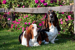 Two tri-color Basset Hound dogs on grass by petunias and zinnias in garden. USA - Lynn M Stone