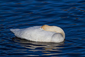 Trumpeter Swan (Cygnus buccinator) sleeping on water; the bird is wintering on the Mississippi River; Minnesota, USA, February. - Lynn M Stone