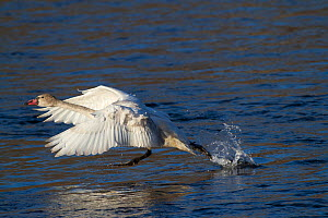 Juvenile Trumpeter Swan (Cygnus buccinator) taking off from water. Mississippi River, Minnesota, USA, February. - Lynn M Stone