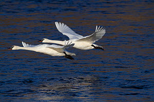 Trumpeter Swans (Cygnus buccinator) in flight low over water. Mississippi River, Minnesota, USA, February. - Lynn M Stone