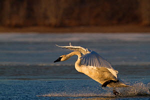 Trumpeter Swan (Cygnus buccinator) landing on open stretch of St. Croix River in dwan light. Wisconsin, USA, February. - Lynn M Stone