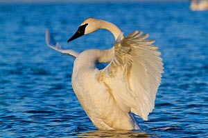 Trumpeter Swan (Cygnus buccinator) stretching wings on water. St. Croix River, Wisconsin, USA, February. - Lynn M Stone