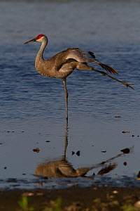 Florida Sandhill Crane (Grus canadensis pratensis), stretching a wing and a leg in shallow water. Sarasota County, Florida, USA, April.  -  Lynn M Stone