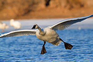Trumpeter Swan (Cygnus buccinator) in low flight, with feet dropping about to land on water. St. Croix River, Wisconsin, USA, February. - Lynn M Stone
