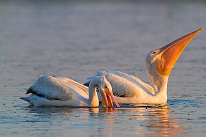 Wintering American White Pelicans (Pelecanus erythrorhyncos) in non-breeding plumage, feeding in shallow lake by using their gular pouches to net fish. Sarasota, Florida, USA, April. - Lynn M Stone
