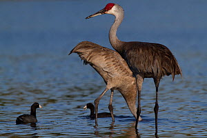 Non-migratory Florida Sandhill Crane (Grus canadensis pratensis) foraging in shallows of Myakka Lake (accompanied by American Coot, Felicia americana); the coots are foraging in the water disturbed by...  -  Lynn M Stone
