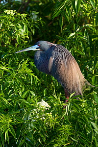 Tricolored Heron (Egretta tricolor) in breeding plumage. Osecola County, Florida, USA, March.  -  Lynn M Stone