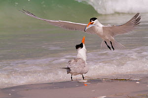 Royal Tern (Thalasseus maximus) in breeding plumage, in flight with Scaled Sardine 'offering' for female, as part of courtship. Gulf of Mexico beach, Pinellas County, Florida, USA, April.  -  Lynn M Stone