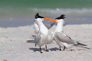 Royal Terns (Thalasseus maximus) stepping toward and then around each other in courtship ritual. Gulf of Mexico beach, St. Petersburg, Florida, USA, April. - Lynn M Stone