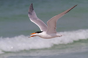 Royal Tern (Thalasseus maximus) in flight, with Scaled Sardine, which it will offer to a female as part of courtship behavior. Gulf of Mexico beach, St. Petersburg, Florida, USA, April. - Lynn M Stone