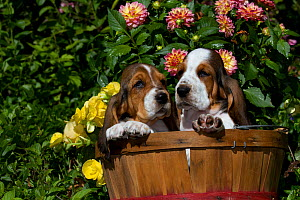 Two Basset Hound puppies in basket with flowers. USA - Lynn M Stone