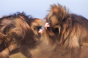 Mature male gelada (Theropithecus gelada) fighting head-on, upper lip curled back revealing teeth. Simien Mountains National Park, Ethiopia.  -  Anup Shah