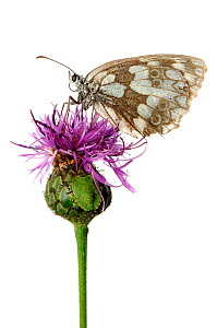 Marbled white butterfly (Melanargia galathea) and camouflaged  Southern green stink bug (Nezara viridula) on thistle flower (Cirsium), Kovevje, Slovenia, August,  meetyourneighbours.net project - MYN  / Marko Masterl