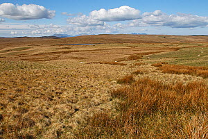 Grass moorland on Denbigh Moors with Snowdon mountain range showing in background North Wales, UK, April - Alan Williams