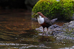 Dipper (Cinclus cinclus) carrying nesting material in stream, Clwyd, North Wales, UK, March  -  Alan Williams