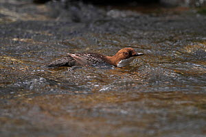 Dipper (Cinclus cinclus) floating down stream on the current, Clwyd, North Wales, UK, March  -  Alan Williams