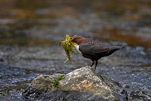 Dipper (Cinclus cinclus) carrying nesting material perched on rock in stream, Clwyd, North Wales, UK, March  -  Alan Williams