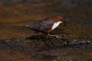 Dipper (Cinclus cinclus) carrying nesting material along stream, Clwyd, North Wales, UK, March  -  Alan Williams