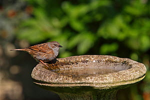 Dunnock (Prunella modularis) drinking from birdbath in garden, Cheshire, UK, April  -  Alan Williams