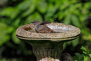 Dunnock (Prunella modularis) bathing in birdbath in garden, Cheshire, UK, April  -  Alan Williams