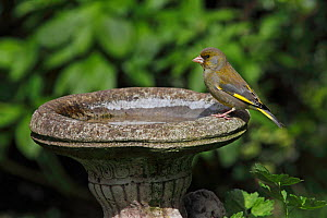 Male Greenfinch (Carduelis chloris) drinking at birdbath, Cheshire, UK, April  -  Alan Williams