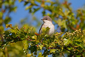 Lesser Whitethroat (Sylvia curruca) perched in Hawthorn on farmland, Cheshire, UK, May  -  Alan Williams