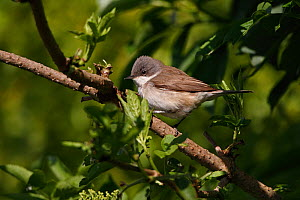 Lesser Whitethroat (Sylvia curruca) perched in hedge on farmland, Cheshire, UK, May  -  Alan Williams