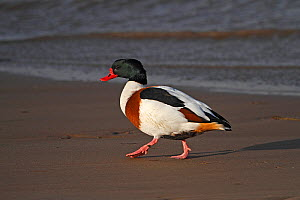Shelduck (Tadorna tadorna) walking on beach Liverpool Bay, UK, December  -  Alan Williams