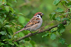 Tree Sparrow (Passer montanus) perched in hedge on farmland Midlands, UK, May  -  Alan Williams
