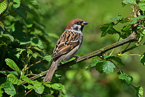 Tree Sparrow (Passer montanus) perched in hedge on farmland Midlands UK May  -  Alan Williams