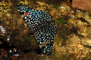 Azure cracker (Hamadryas arione ariensis) butterfly basking on tree branch, Lalo Loor Reserve, Manabi Province, Ecuador  -  Will Watson