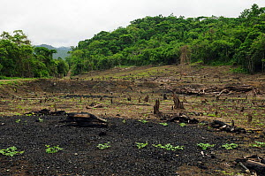 Clearance of coastal rainforest for subsistence agriculture, Manabi Province, Ecuador. February 2012.  -  Will Watson