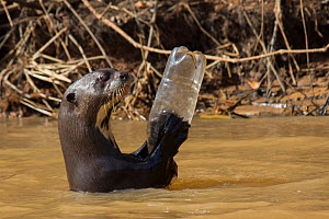 Giant otter (Pteronura brasiliensis) adult playing with plastic bottle, Pantanal, Pocone, Brazil  -  Paul Williams