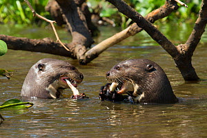 Giant otters (Pteronura brasiliensis) both feeding on caught fish, Pantanal, Pocone, Brazil - Paul Williams