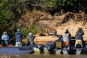 Tourists watching two wild Jaguar cubs fight on riverbank whilst third looks on from above (Panthera onca) from boat on river, Pantanal, Pocone, Brazil. No release available.  -  Paul Williams